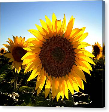 Sun Shine 3 Wc 2  Canvas Print