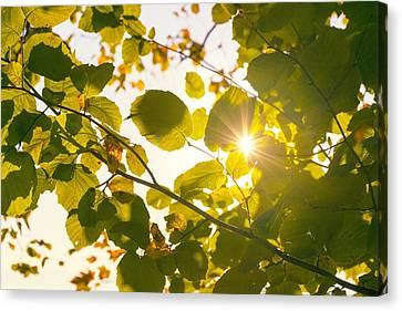 Sun Shining Through Leaves Canvas Print by Chevy Fleet