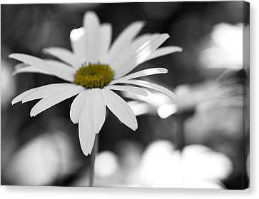 Sun-speckled Daisy Canvas Print by Don Schwartz