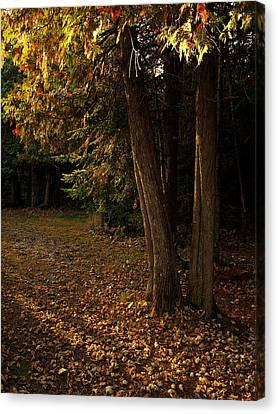 Sun Struck Cedars Canvas Print by Stan Wojtaszek