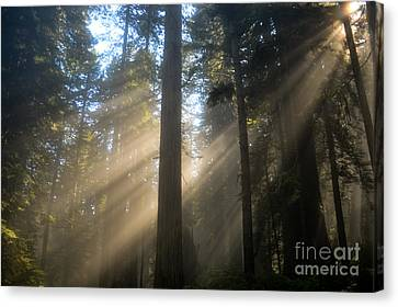 Sun Through The Redwoods Canvas Print
