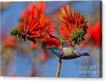 Sunbird On Coral Canvas Print