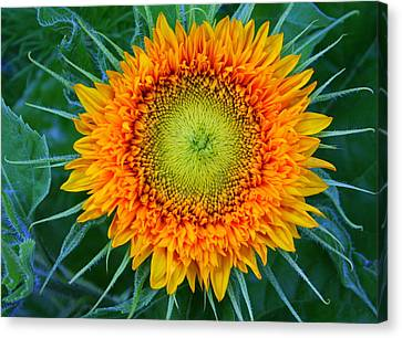 Canvas Print featuring the photograph Sunburst by Debra Kaye McKrill