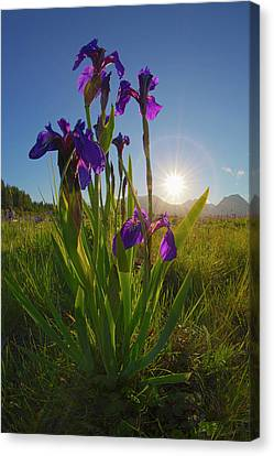 Sunburst Shines Through Clump Of Wild Canvas Print