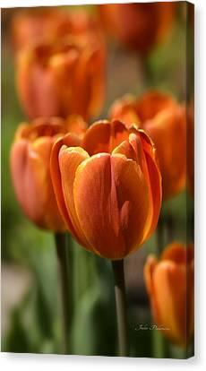 Sunburst Tulips Canvas Print by Julie Palencia