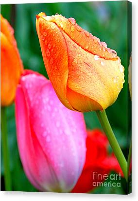 Sunday Shower Tulip Canvas Print by Christy Phillips