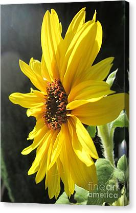 Sunflower 1 Canvas Print by John Clark