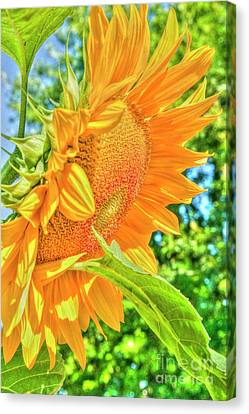 Sunflower 2 Canvas Print by Rod Wiens