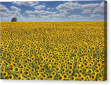 Sunflower Afternoon - Texas Wildflower Images - Happiness Canvas Print by Rob Greebon