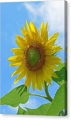 Sunflower Against Blue Sky Canvas Print by Lisa Phillips