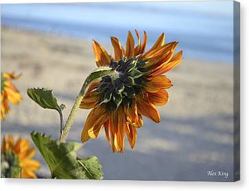 Canvas Print featuring the photograph Sunflower by Alex King