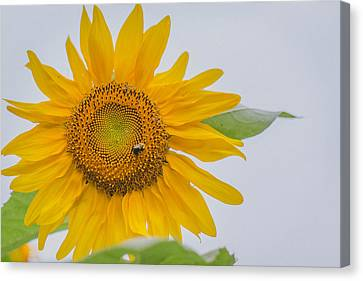 Sunflower And Bee Canvas Print