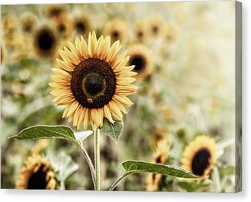 Sunflower And The Bee Canvas Print by June Jacobsen