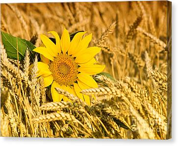 Sunflower And Wheat Canvas Print