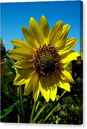 Sunflower Canvas Print by Andrea Galiffi