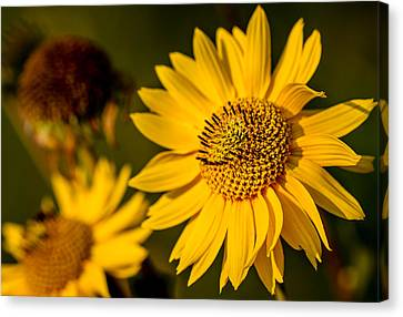 Sunflower At Sunset Canvas Print by Eric Bott