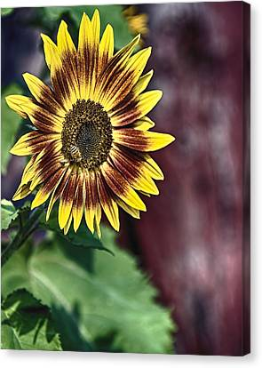 Sunflower At The Barn Canvas Print by Gary Neiss