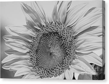 Sunflower Black And White Canvas Print