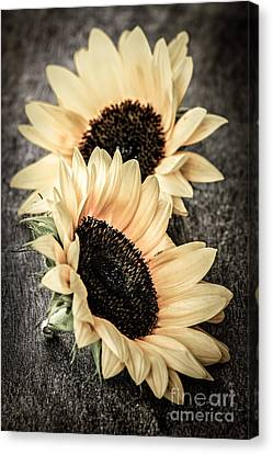 Sunflower Blossoms Canvas Print