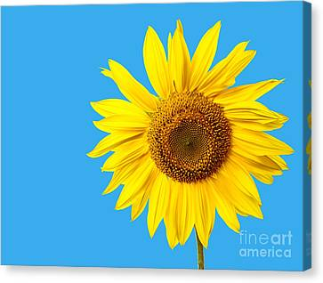 Sunflower Blue Sky Canvas Print by Edward Fielding