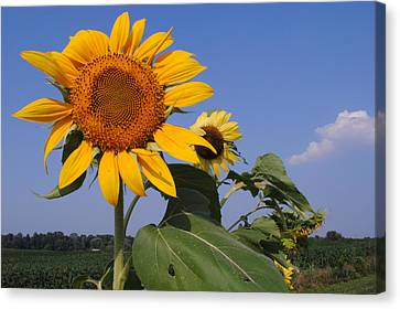 Sunflower Blues Canvas Print by Frozen in Time Fine Art Photography