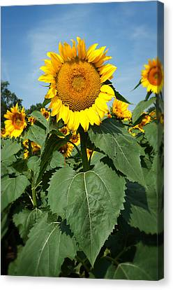 Canvas Print featuring the photograph Sunflower by Bud Simpson
