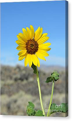Sunflower By Craters Of The Moon Canvas Print by Debra Thompson