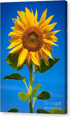 Sunflower Canvas Print by Carsten Reisinger