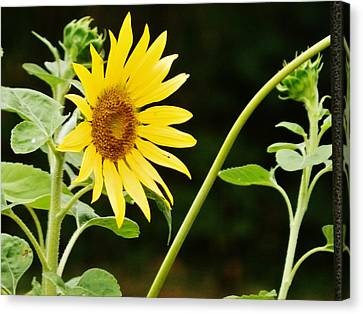 Sunflower Cheer Canvas Print