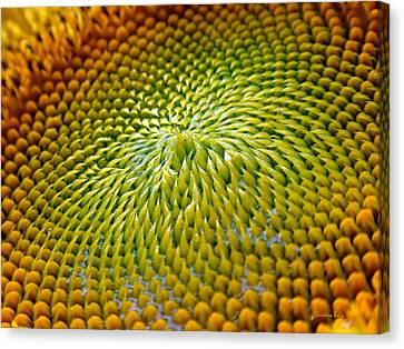 Sunflower  Canvas Print by Christina Rollo