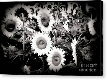 Sunflower Cinema In Black And White Canvas Print by Janine Riley