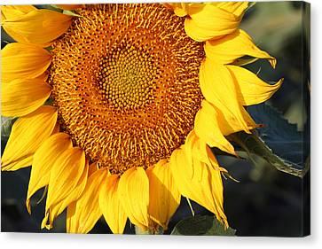 Sunflower - Closeup Canvas Print