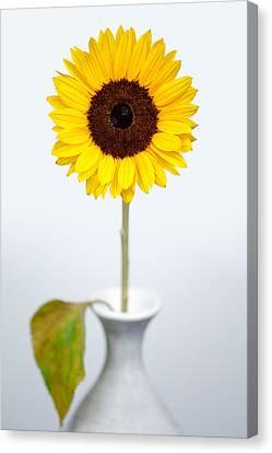 Sunflower Canvas Print by Dave Bowman