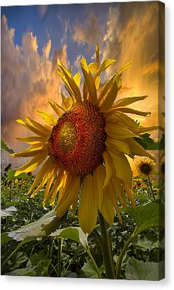 Sunflower Dawn Canvas Print by Debra and Dave Vanderlaan