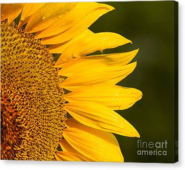 Canvas Print featuring the photograph Sunflower Dew by Dale Nelson
