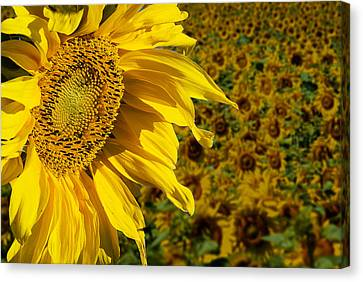 Sunflower Canvas Print by Donald  Erickson