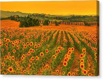 Sunflower Dream Canvas Print by Midori Chan