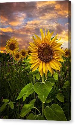 Sunflower Dusk Canvas Print by Debra and Dave Vanderlaan