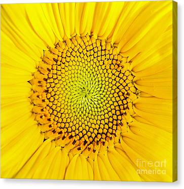 Sunflower Canvas Print - Sunflower  by Edward Fielding