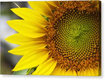 Sunflower Face Canvas Print
