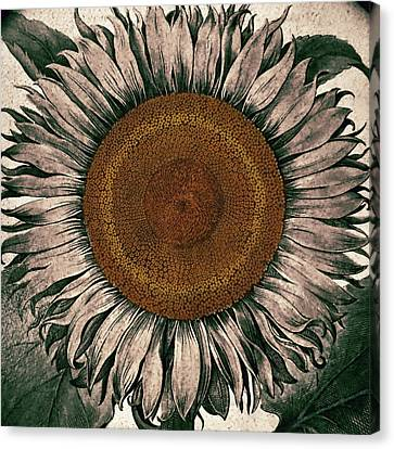Sunflower - Face To The Sunshine Canvas Print by Patricia Januszkiewicz