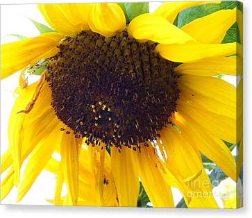 Sunflower - Falling For You Canvas Print by Janine Riley