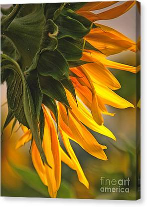 Sunflower Farm 1 Canvas Print by Kathleen K Parker