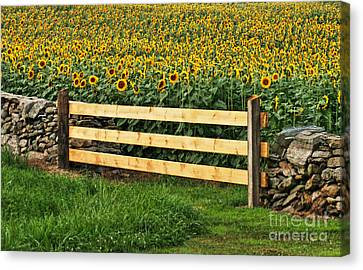 Sunflower Fence Canvas Print by Marcel  J Goetz  Sr
