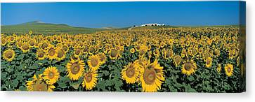 Andalucia Canvas Print - Sunflower Field Andalucia Spain by Panoramic Images