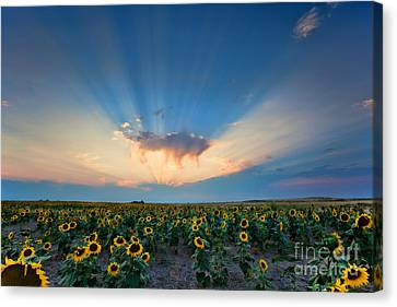 Sunflower Field At Sunset Canvas Print by Jim Garrison