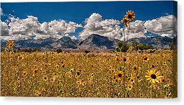 Sunflower Field Canvas Print by Cat Connor