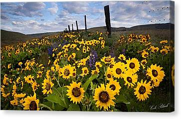 Sunflower Field Canvas Print by Cole Black