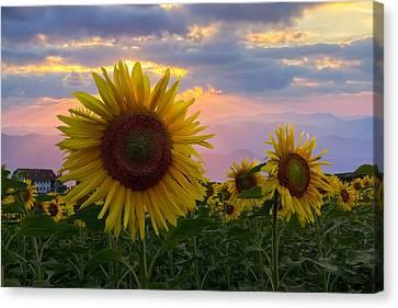 Sunflower Field Canvas Print by Debra and Dave Vanderlaan