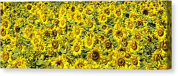Sunflower Field Canvas Print by Donald  Erickson